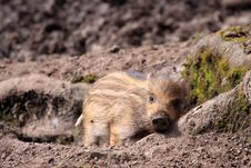 Free Wild Swine Stock Image - 14043151