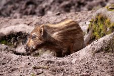Free Wild Swine Royalty Free Stock Images - 14043209