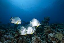 Free Orbicular Spadefish And Ocean Royalty Free Stock Images - 14043589