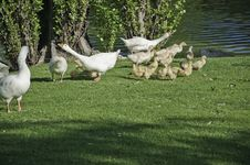 Free Geese With Their Offspring Royalty Free Stock Photography - 14043737