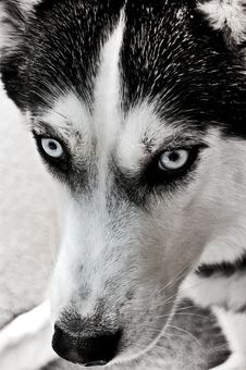 Free Staring Husky Stock Photos - 14043833