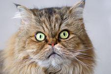 Free Persian Cat Face Close-up Stock Photos - 14044193