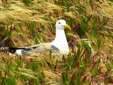 Free Western Gull, At A Coastal Area With Plants Stock Photo - 14044580