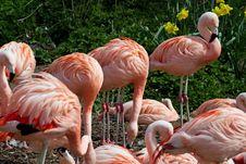 Chilean Flamingos Stock Photos