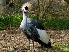 Free Grey Crowned Crane Royalty Free Stock Photos - 14044708
