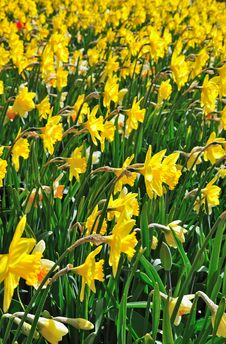 Free Spring Daffodils Meadow Stock Image - 14044961