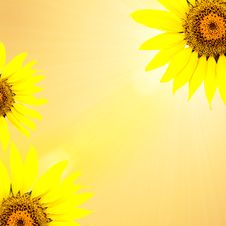 Free Bright Young Sunflower Stock Images - 14045264