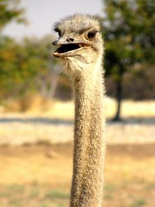 Free Ostrich Stock Photo - 14045440
