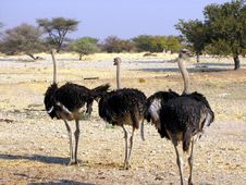 Free Ostriches Royalty Free Stock Photos - 14045468
