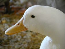 Free White Duck Royalty Free Stock Photo - 14047935