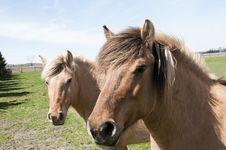 Pair Of Horses Stock Image