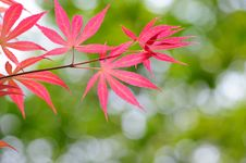 Free Red Leaves Stock Image - 14048391