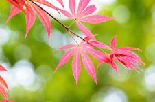 Free Red Leaves Stock Image - 14048611