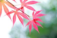 Free Red Leaves Royalty Free Stock Image - 14048696