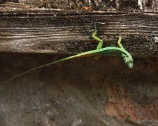 Free Green Lizard Stock Images - 14048714