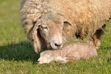 Free Sheep With 1 Days Old Cute Lamb Royalty Free Stock Photo - 14048855