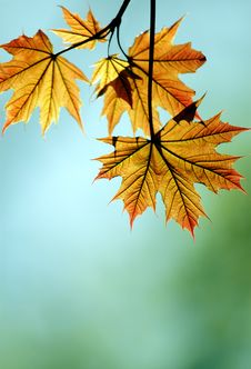 Free Red Maple Leaf Royalty Free Stock Images - 14049209