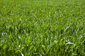 Free Wheat Field Royalty Free Stock Photography - 14054527