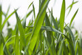 Free Wheat Field Royalty Free Stock Images - 14054659