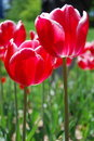Free Red Tulip Stock Image - 14054901