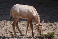 Roan Antelope Juvenile Stock Image