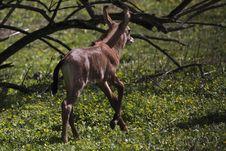 Free Running Nile Lechwe Juvenile Royalty Free Stock Photos - 14050148