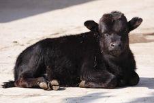 Free Juvenile African Buffalo Stock Image - 14050241