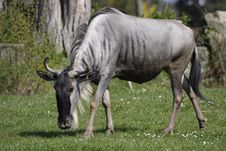 Free Blue Wildebeest Royalty Free Stock Image - 14050286