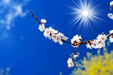 Blossoming Apricot  Branch  And Fun Sun. Royalty Free Stock Photos