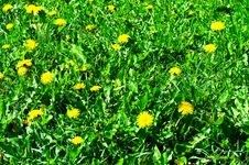Fun Dandelions On The Meadow. Royalty Free Stock Photo