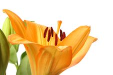 Free Orange Tiger Lily Flower Stock Photography - 14050762