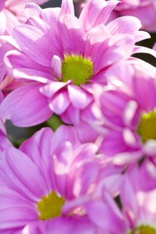 Free Pink Daisy Flowers Stock Images - 14050824