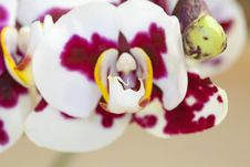 Free Orchid - Phalaenopsis-Hybrid Royalty Free Stock Image - 14050846