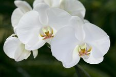 Free Branch Of Orchid Flowers Stock Photo - 14050870