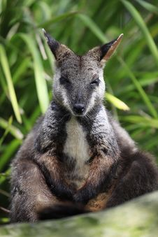 Free Brush-Tailed Rock-Wallaby Stock Image - 14051071