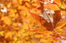Free Maple Leaf Royalty Free Stock Images - 14051399