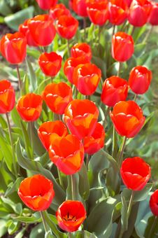 Free Lawn Of Fresh Spring Red Tulips Stock Images - 14051444