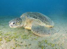 Giant Green Sea Turtle Stock Photo