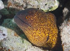 Free Yellow-edged Moray Eel Stock Image - 14052521