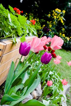 Free Tulips In Garden Royalty Free Stock Image - 14052586