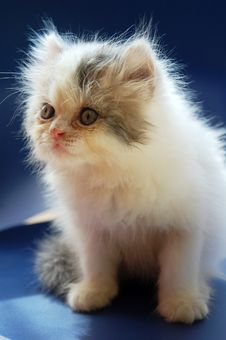 Free Persian Kitten Royalty Free Stock Images - 14052779