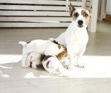 Free Jack Russel Terrier Stock Image - 14053011