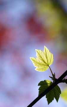 Free Green Maple Leaf Royalty Free Stock Photo - 14053025