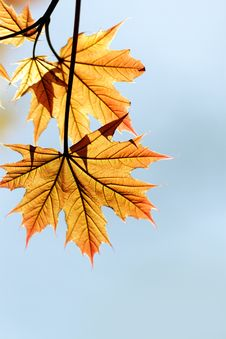 Free Red Maple Leaf Royalty Free Stock Photos - 14053088