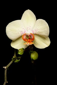 Free Orchid Stock Image - 14053221