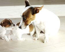 Free Jack Russel Terrier Stock Photos - 14053263