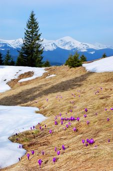 Free Crocuses Blossoming In Mountains Stock Photography - 14053302
