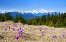 Free Crocuses Blossoming In Mountains Stock Image - 14053341