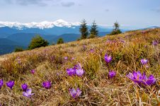 Free Crocuses Blossoming In Mountains Royalty Free Stock Photography - 14053397
