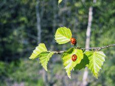 Free Ladybug Stock Image - 14053401